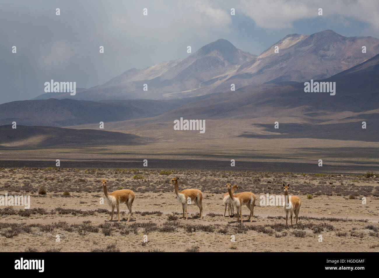 Vicunas  in the Zona de Vicunas, Stock Photo