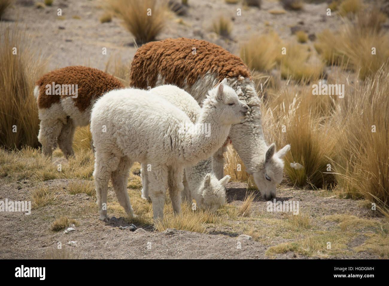 Alpacas in the Zona de Vicunas, - Stock Image
