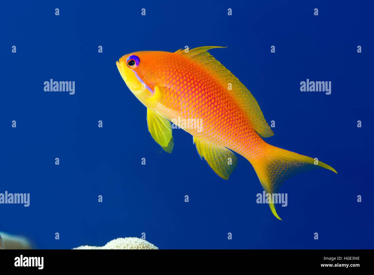 Red Sea, Egypt. 8th Nov, 2016. Female sea goldie, lyretail coralfish, lyretail anthias or scalefin anthias (Pseudanthias - Stock Image