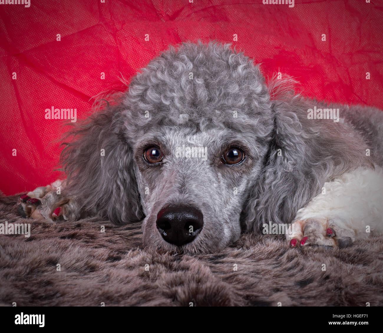 portrait of a poodle puppy - Stock Image