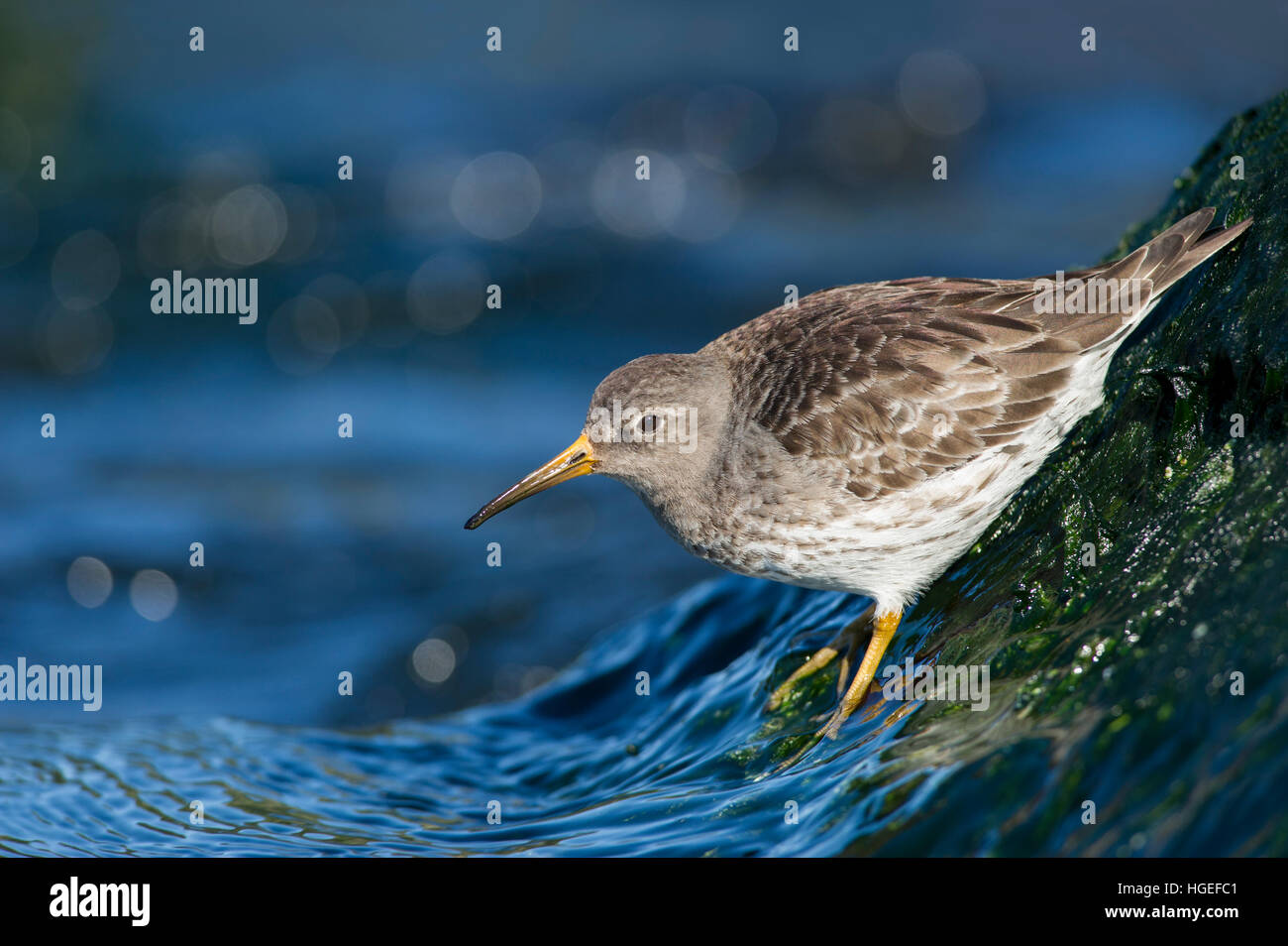 A Purple Sandpiper clings to the slick rocks as small waves splash up on its feet on a bright sunny day. - Stock Image