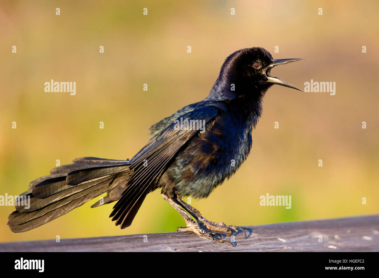 A Boat-tailed Grackle sings loudly in the late afternoon sun while perched on a wooden railing. - Stock Image