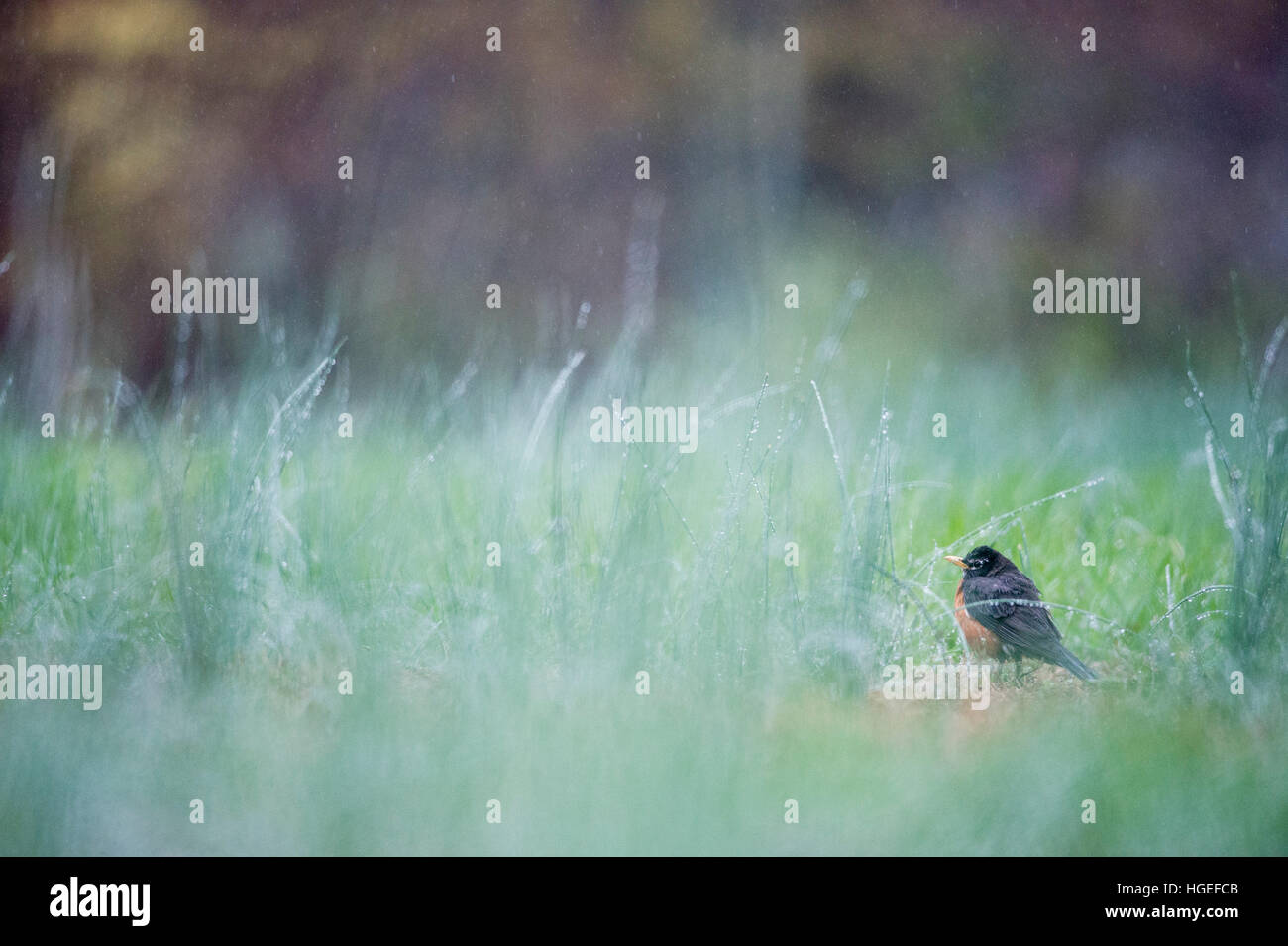 An American Robin stands in tall grass on a very rainy day. - Stock Image