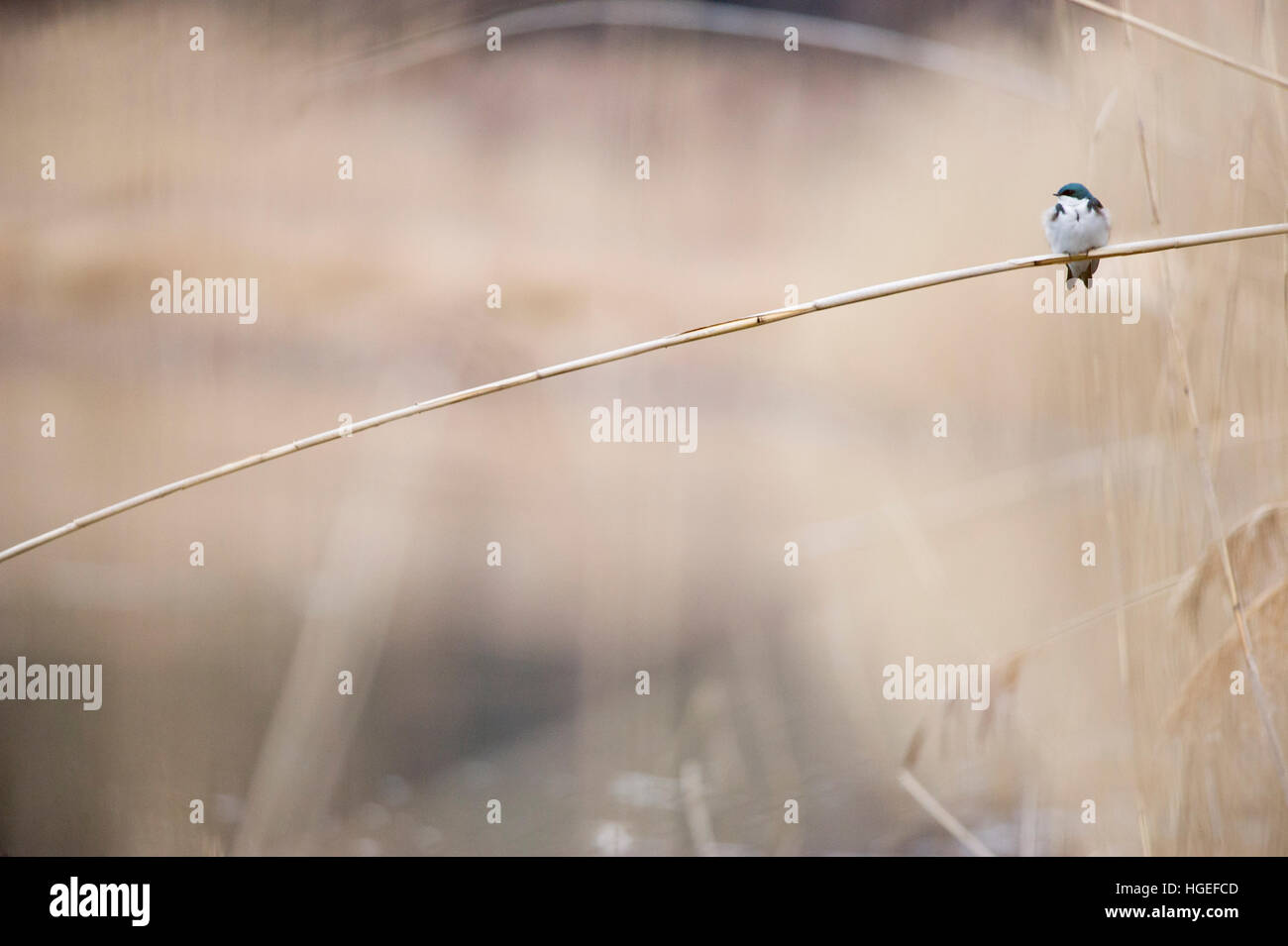 A tiny Tree Swallow perches on a bent Phragmite reed on a cloudy day. Stock Photo
