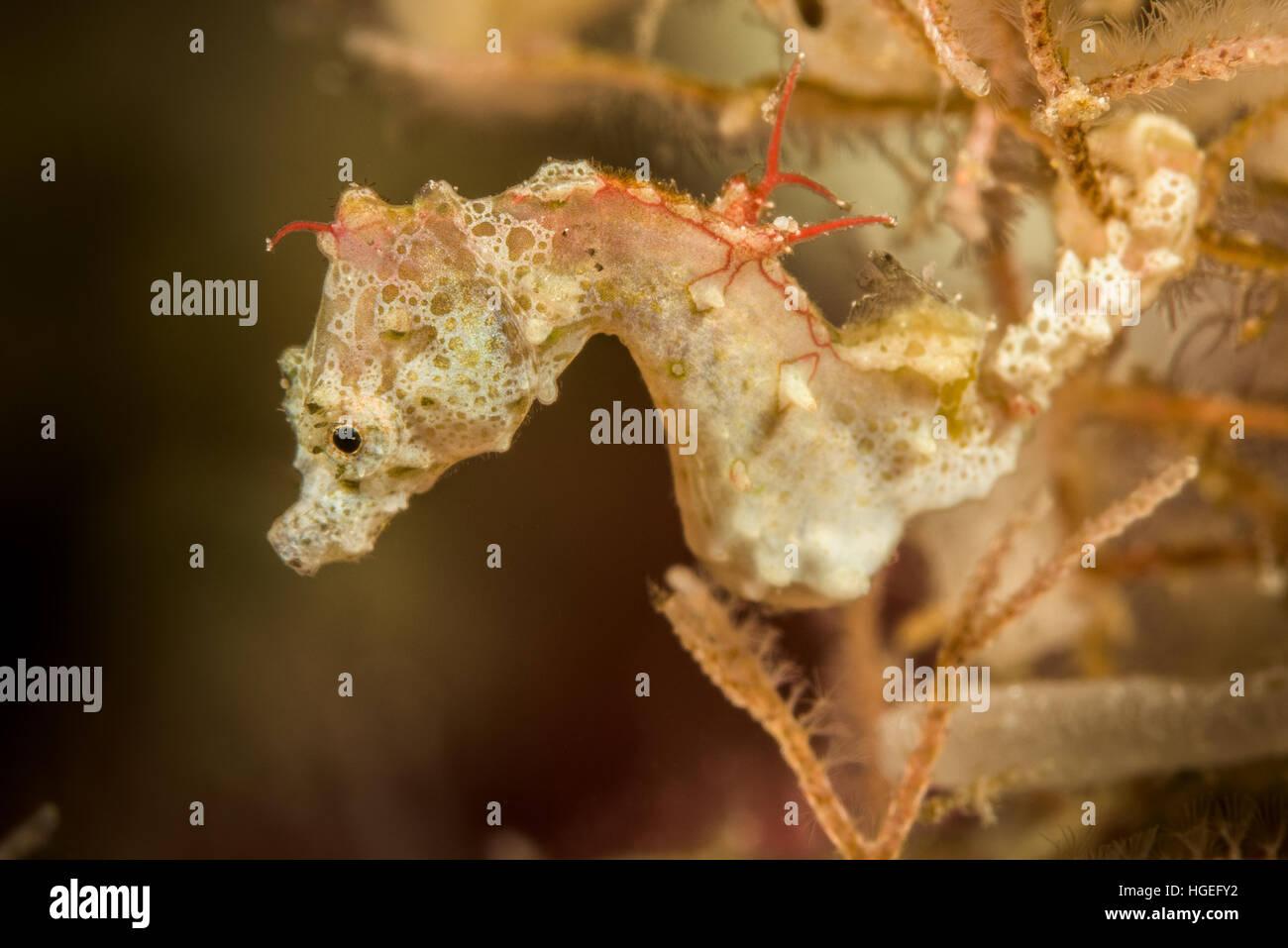 Pygmy seahorse in Lembeh - Stock Image