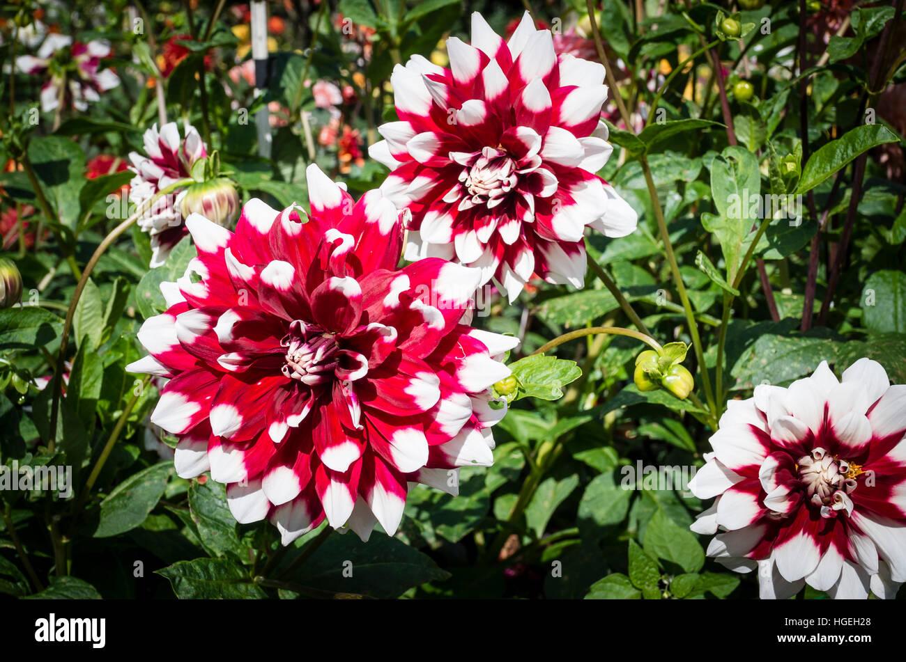 Dahlia Duet flowering in September in the UK - Stock Image