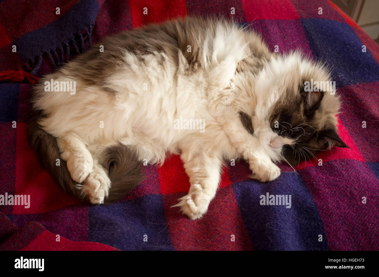 Ragdoll cat asleep on a colourful rug - Stock Image