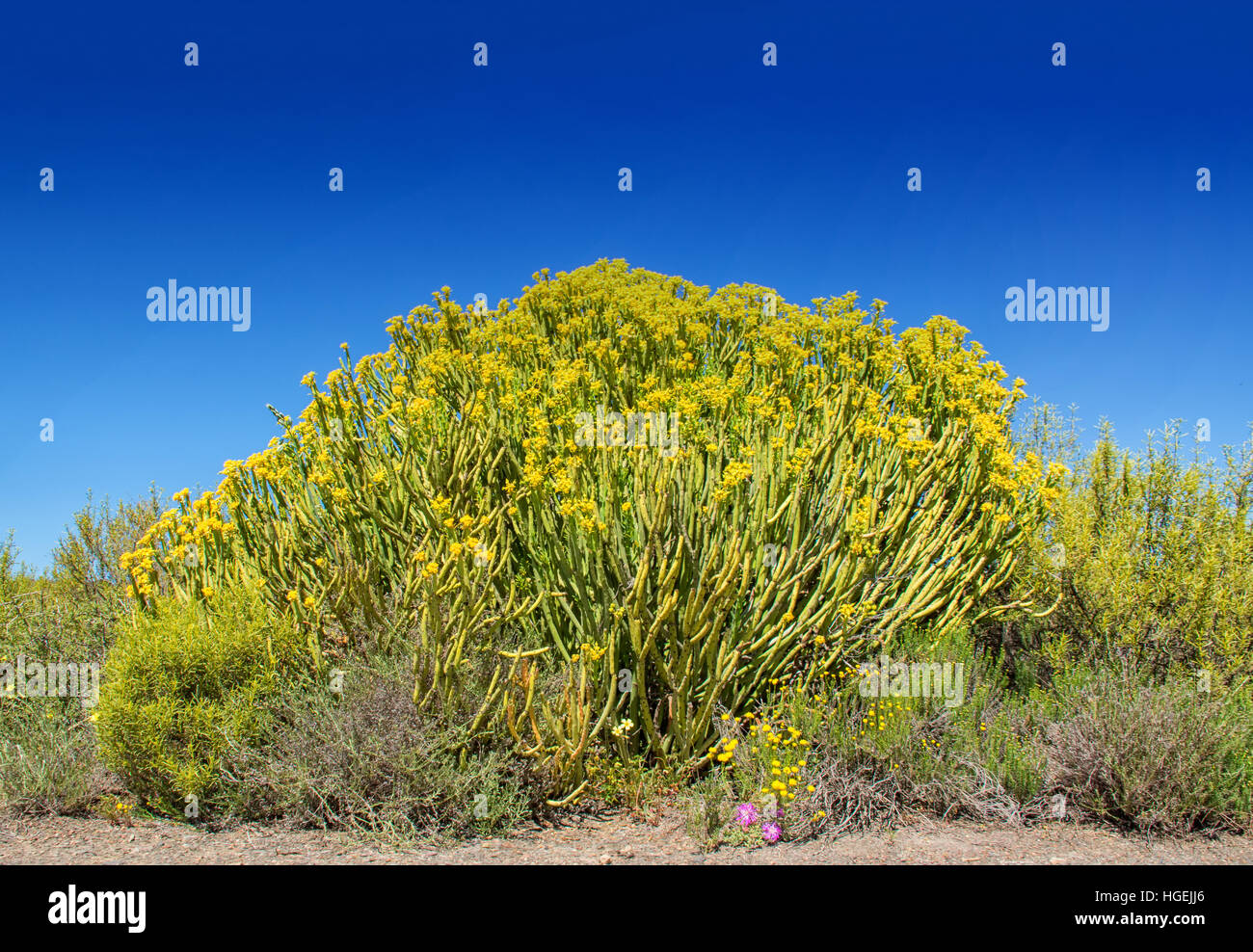 Euphorbia mauritanica bush in the Northern Cape, South Africa Stock Photo