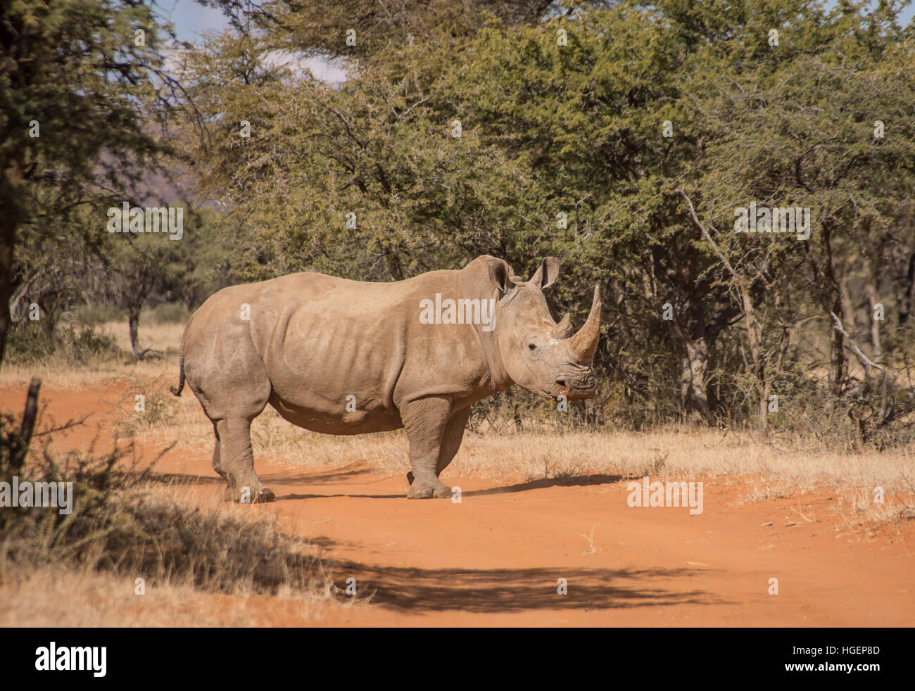 White Rhinoceros crossing road in Southern African savanna - Stock Image