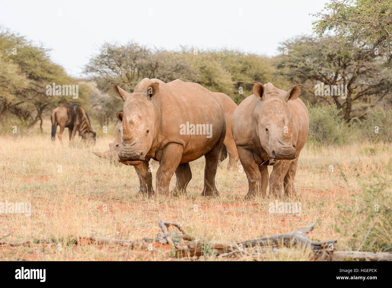 White Rhinos in Southern African savanna - Stock Image