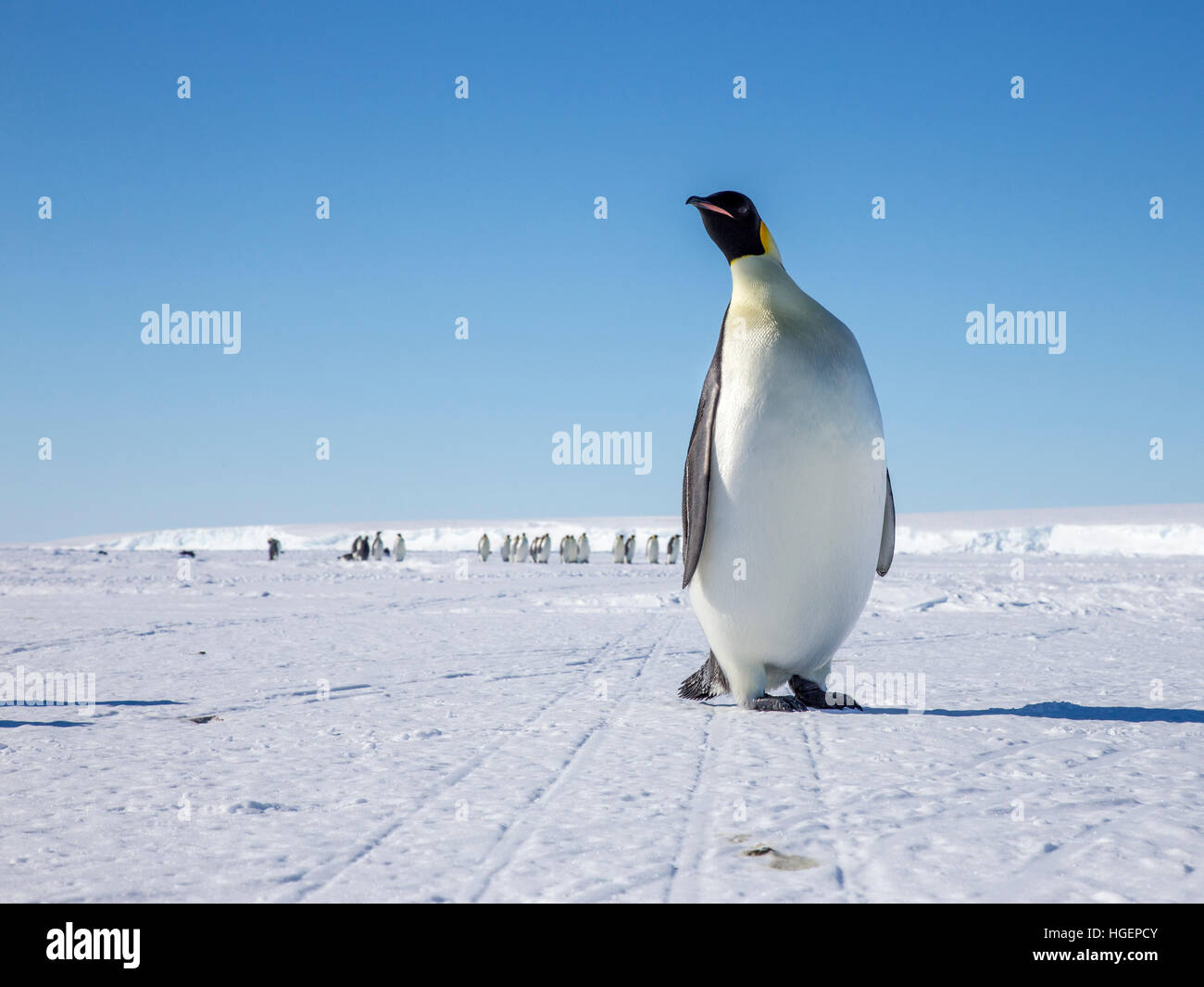 An enquiring Emperor Penguin breaks away from the main group walking to the sea. - Stock Image