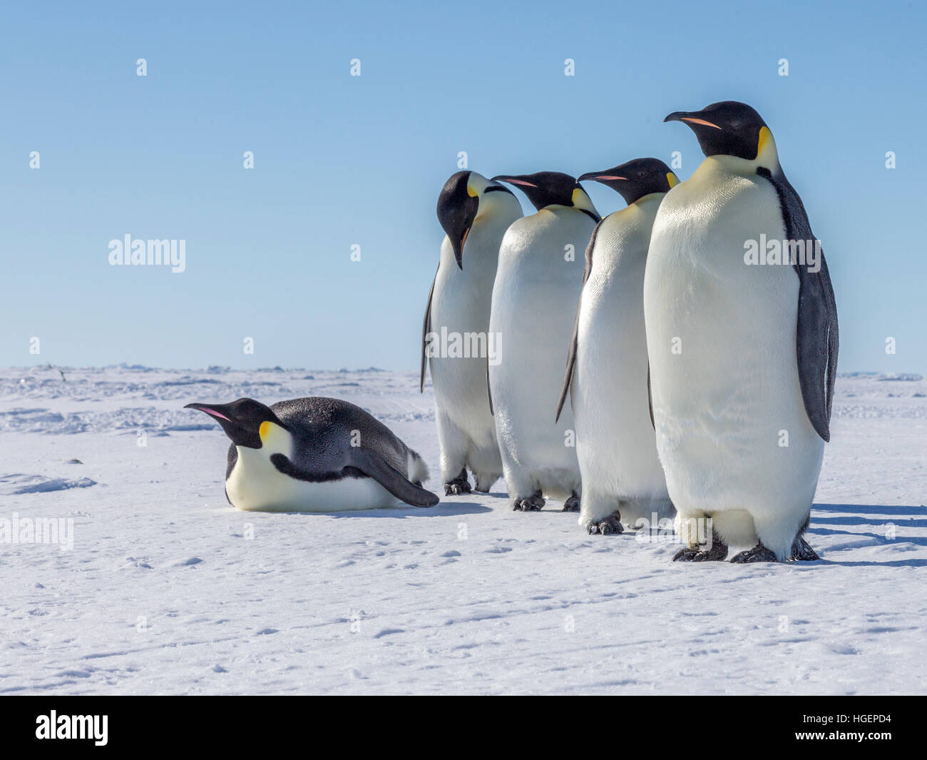 Five adult Emperor Penguins, travelling to the open sea, rest for a while. - Stock Image