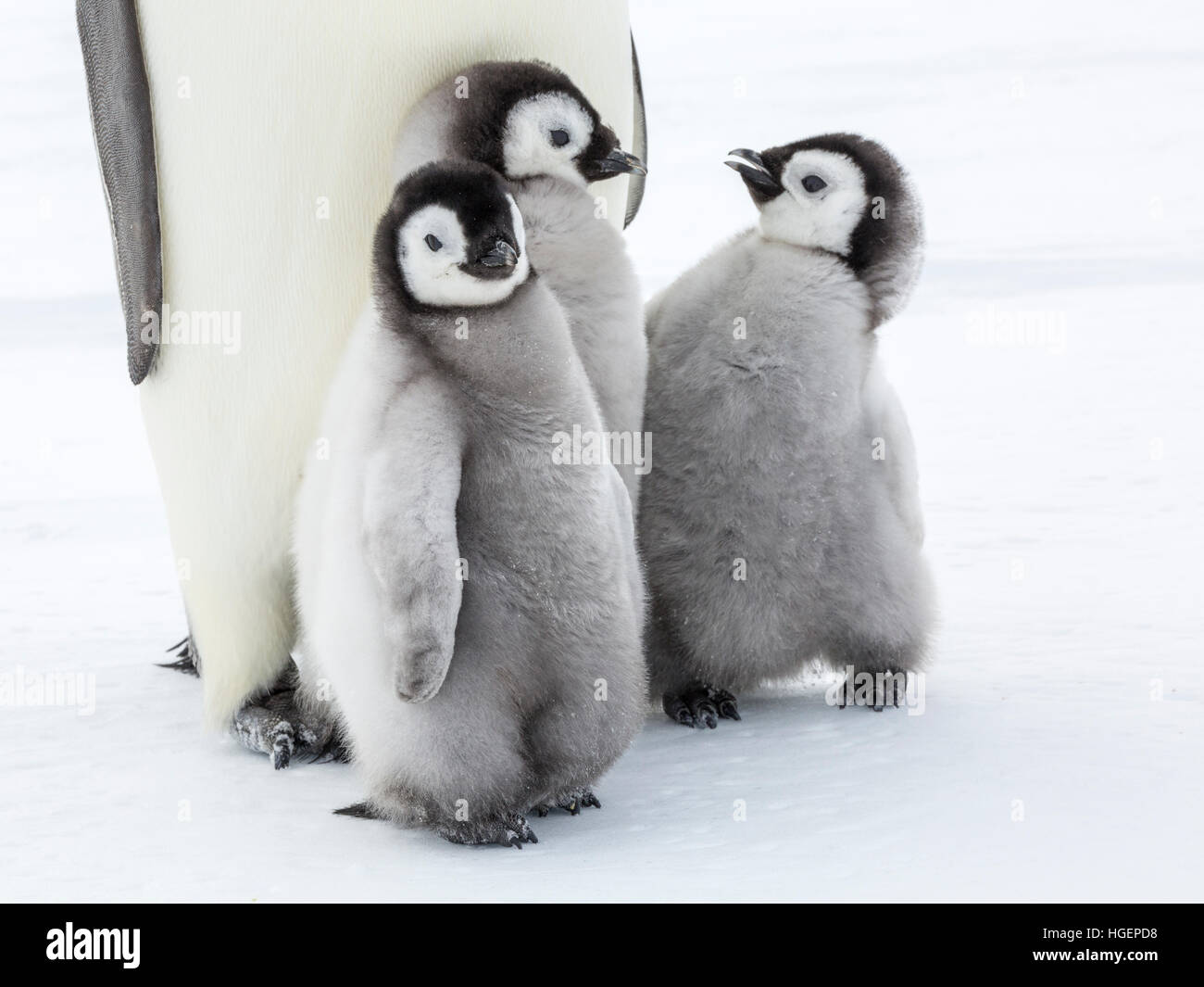 Three Emperor Penguin chicks with two interacting - Stock Image