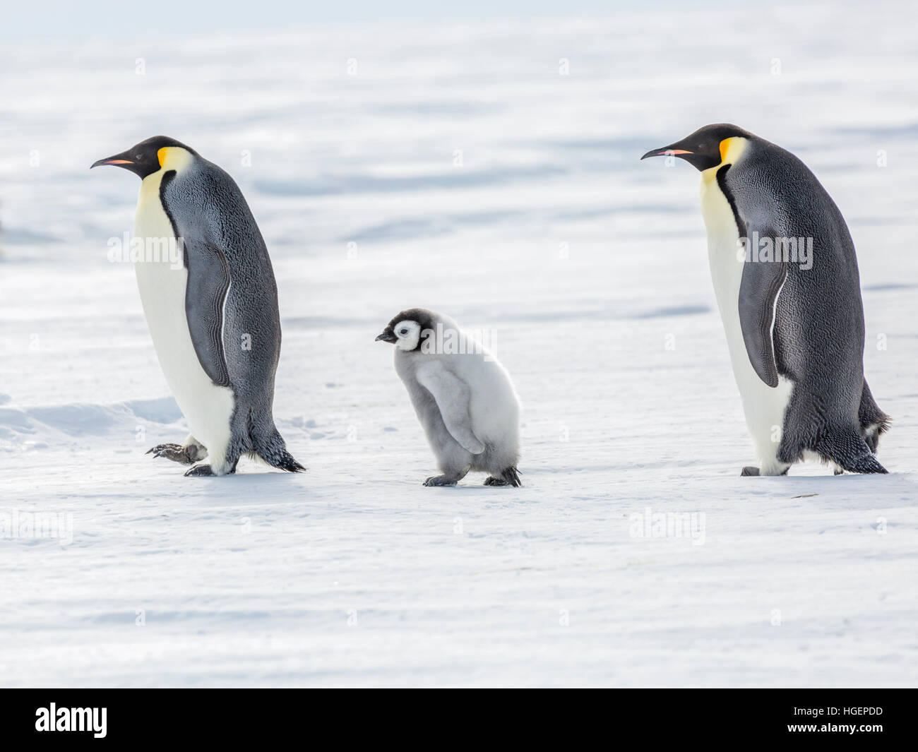 An Emperor Penguin chick on a walk between two adults - Stock Image