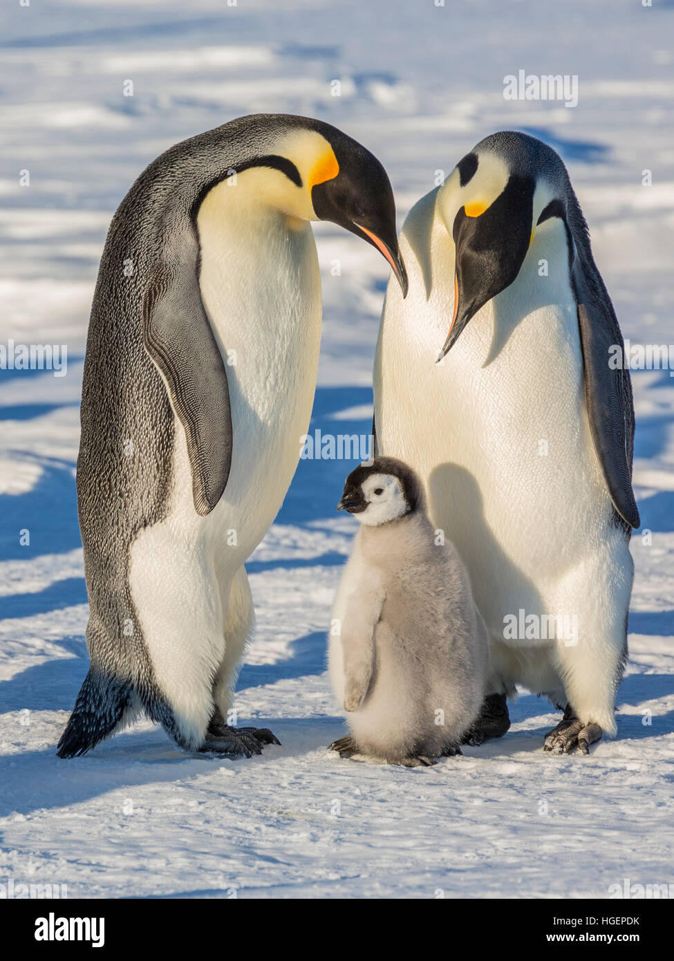 An Emperor Penguin chick stands with two adults - Stock Image