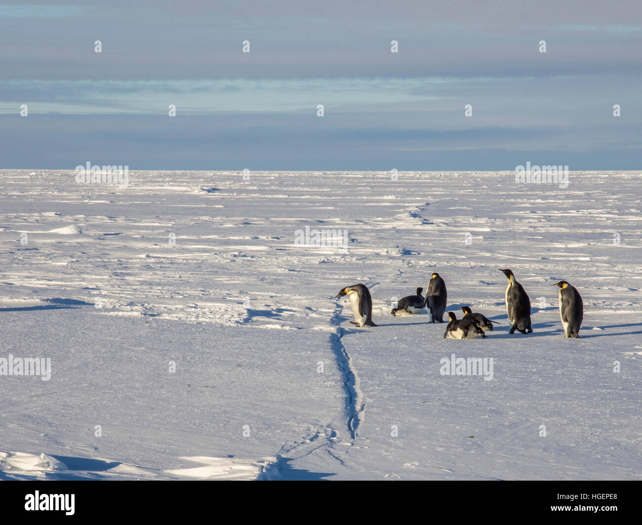 A crack appears in the frozen Weddell sea ice and is inspected by travelling adult penguins returning from the sea - Stock Image