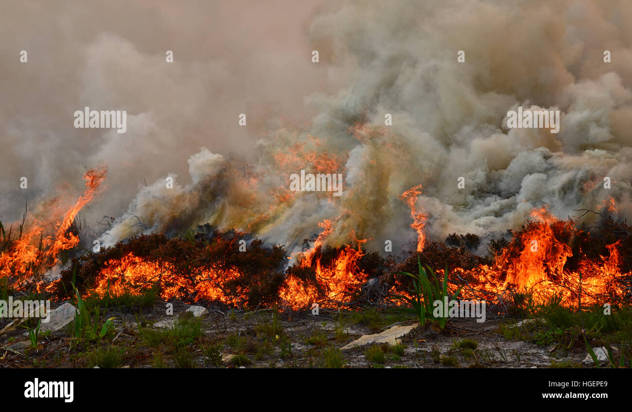 A wildfire rips through dry fynbos on the Cape Peninsula in South Africa - Stock Image