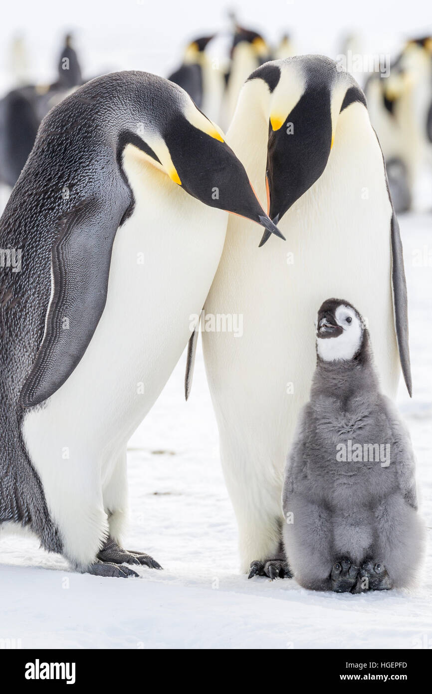 An Emperor Penguin chick engages with parents with crossed beaks - Stock Image
