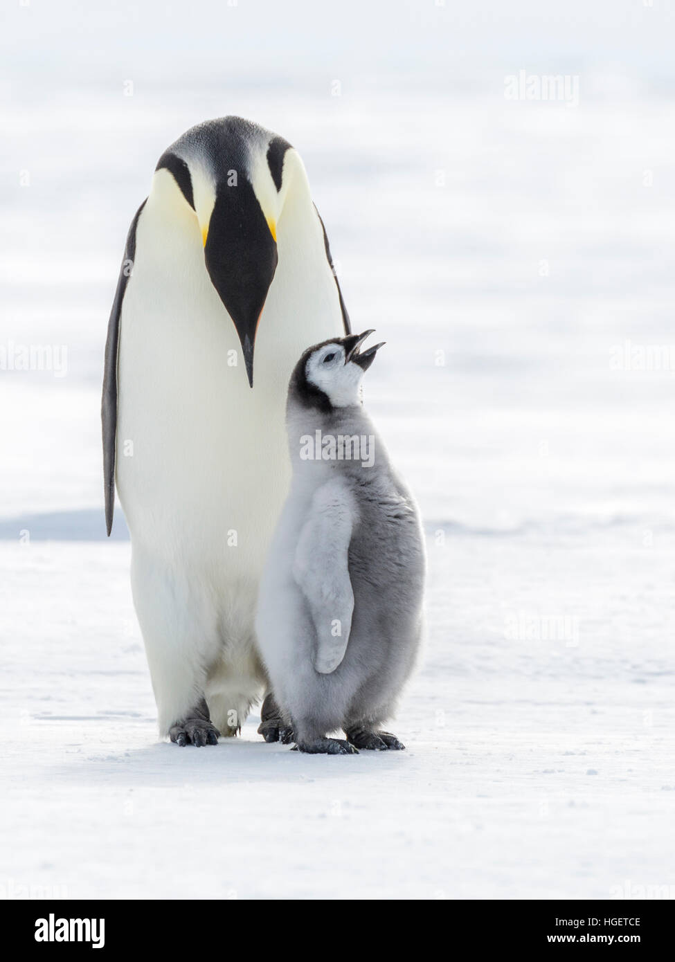 An Emperor Penguin chick with beak open stands with an adult penguin - Stock Image