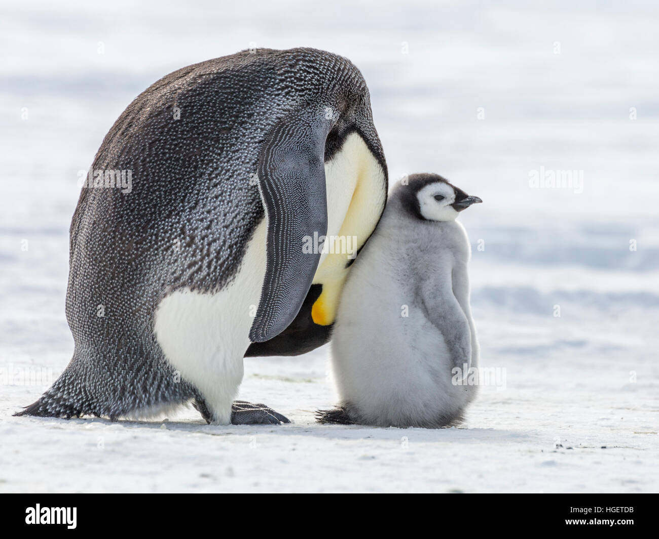 An Emperor Penguin chick rests against the neck of a parent - Stock Image