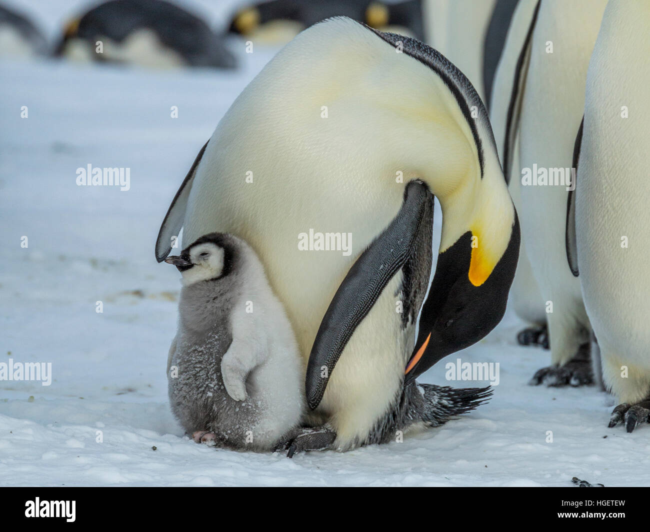 An Emperor Penguin chick sleeps while a parent preens - Stock Image