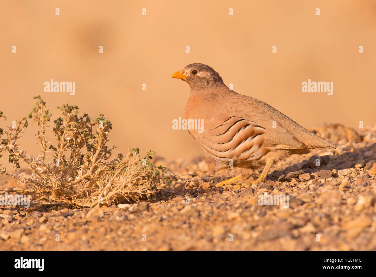 sand partridge (Ammoperdix heyi) is a gamebird in the pheasant family Phasianidae of the order Galliformes, gallinaceous - Stock Image