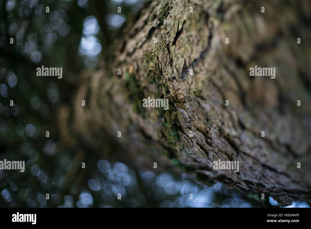Detailed closeup of tree trunk looking upwards towards blurred leaves and blue sky - Stock Image