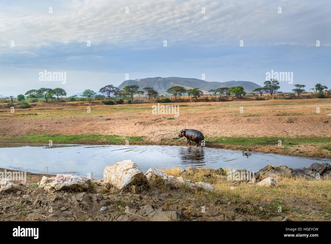 Hippo next to our camp, Africa, safari - Stock Image