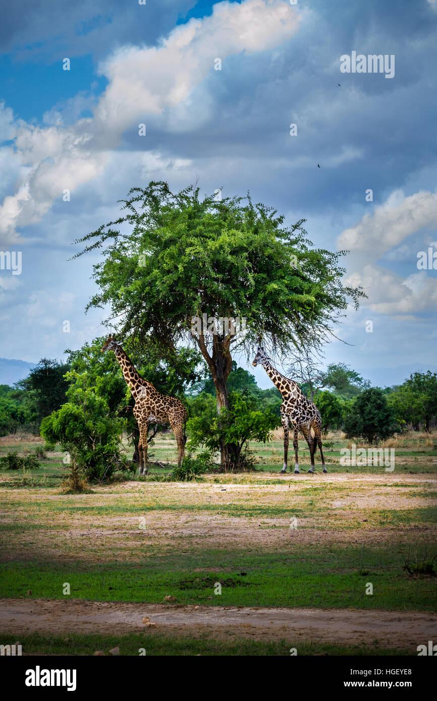 Africa wildlife, safari - Stock Image