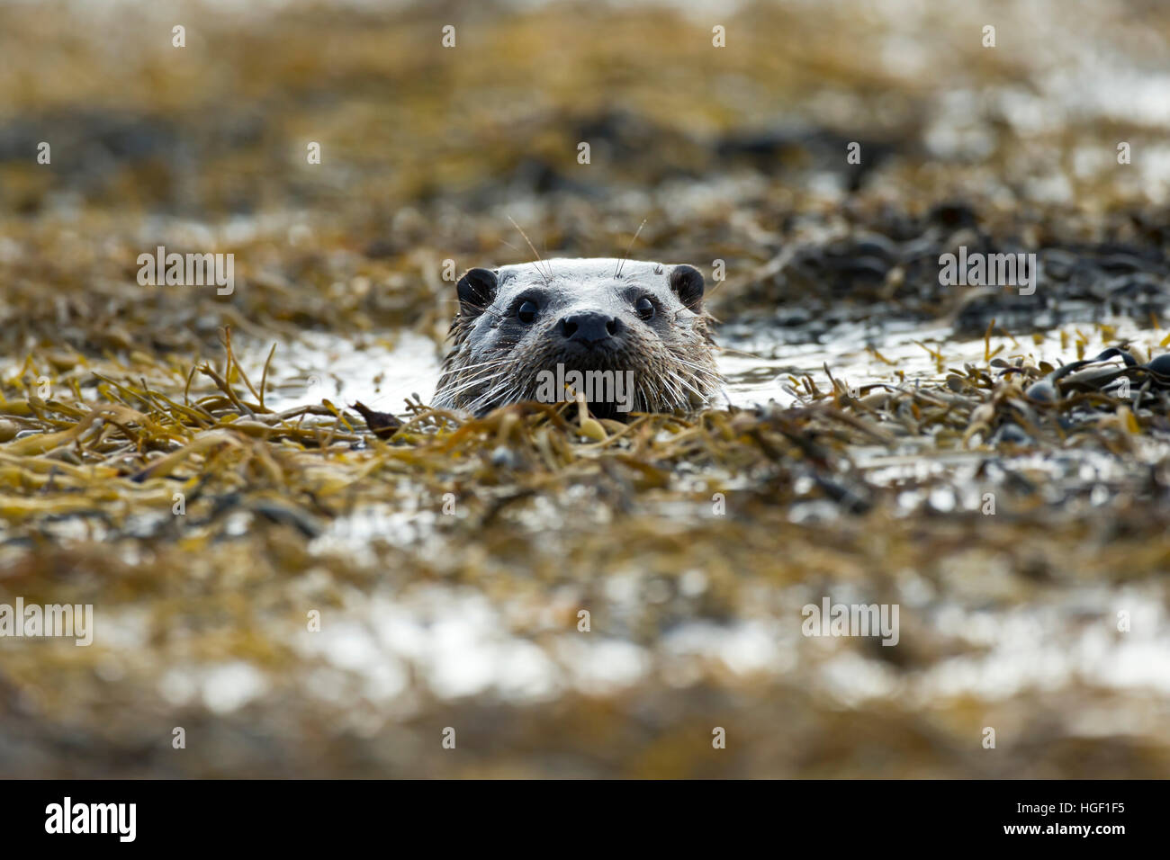 Eurasian otter (Lutra lutra) swimming in the seaweed - Stock Image