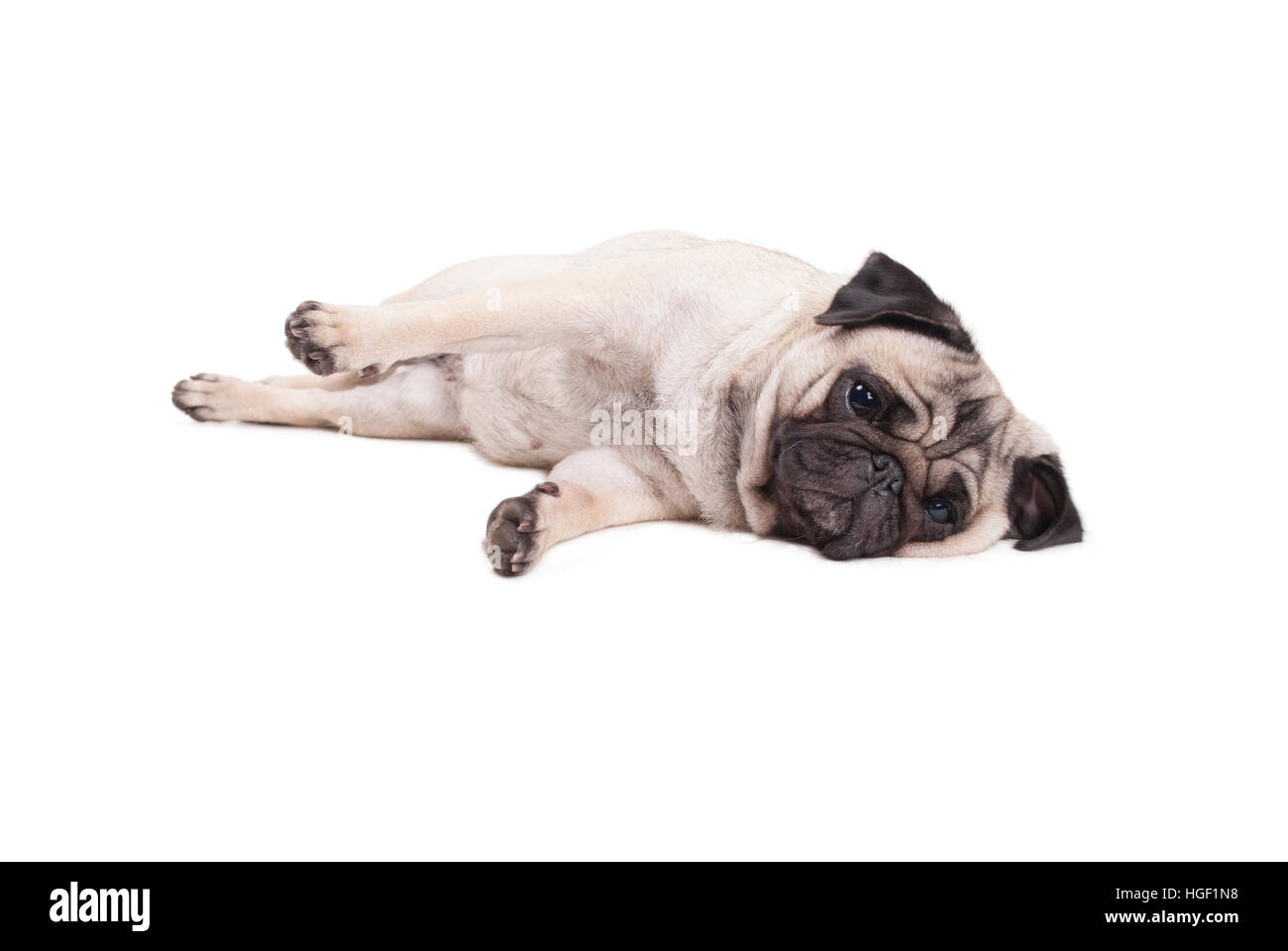 lovely cute pug puppy dog lying down on floor, isolated on white background Stock Photo