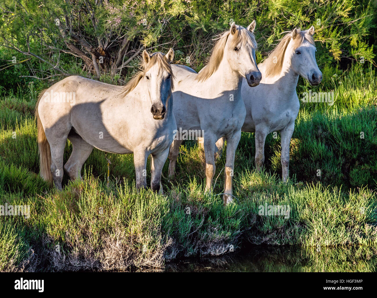 White Camargue Horses in sunset light on the dark green natural background. - Stock Image