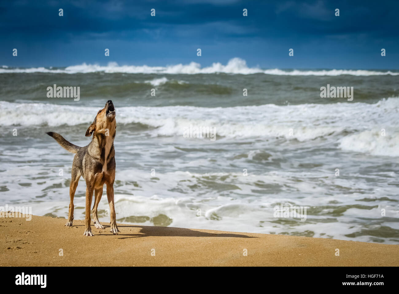 Dog standing on the shore and barking loudly - Stock Image