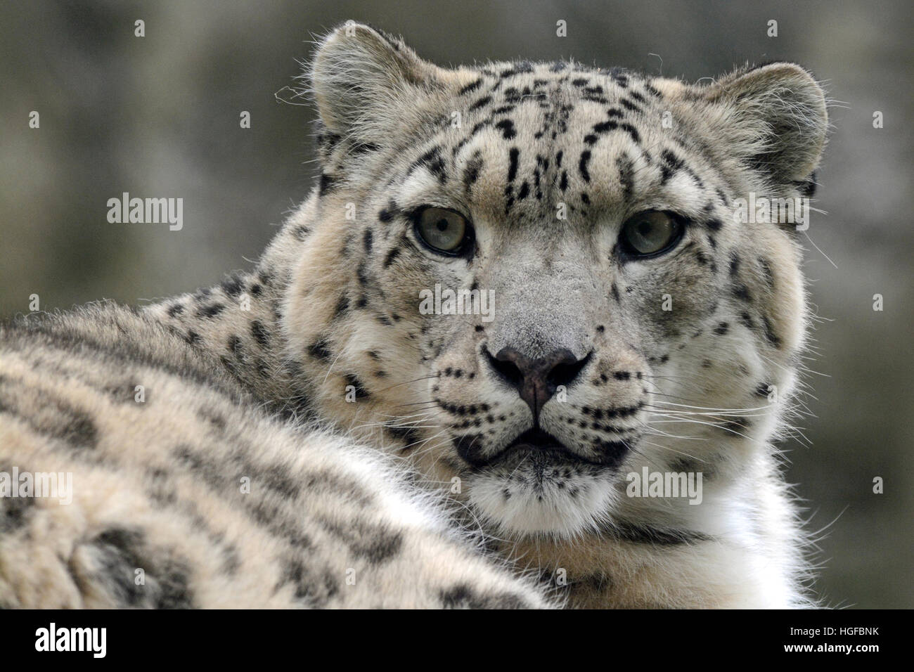 Head shot of a Snow Leopard - Stock Image