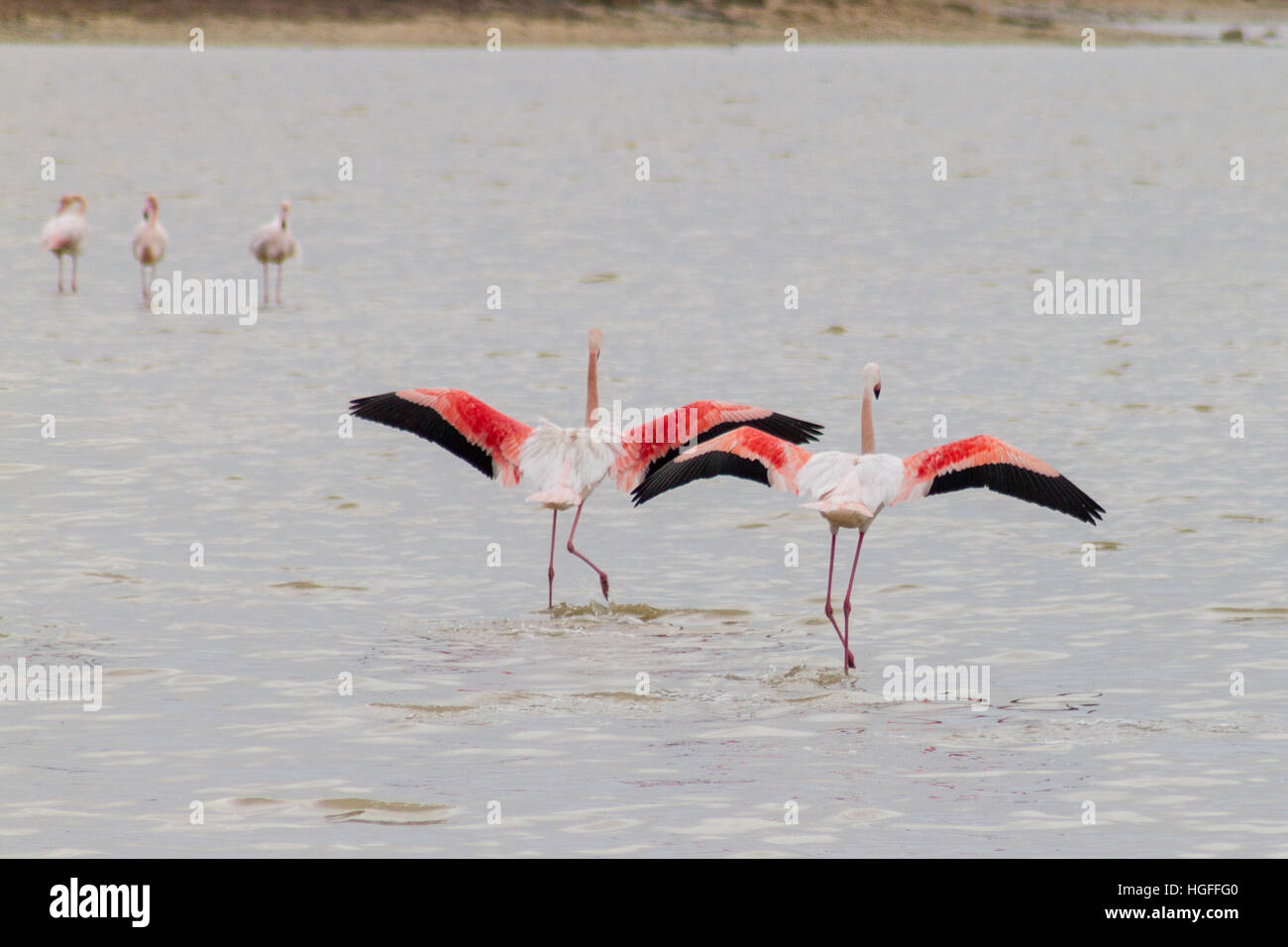 Two flamingos taking off at Larnaca Salt-lake in the island of Cyprus on a winter morning Stock Photo