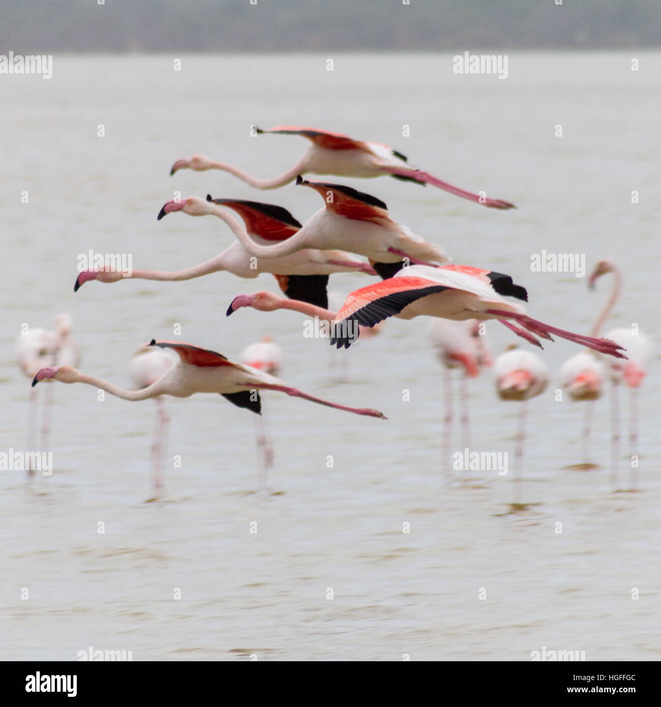 Flying flamingos over Larnaca Salt-lake on a winter morning in the island of Cyprus Stock Photo