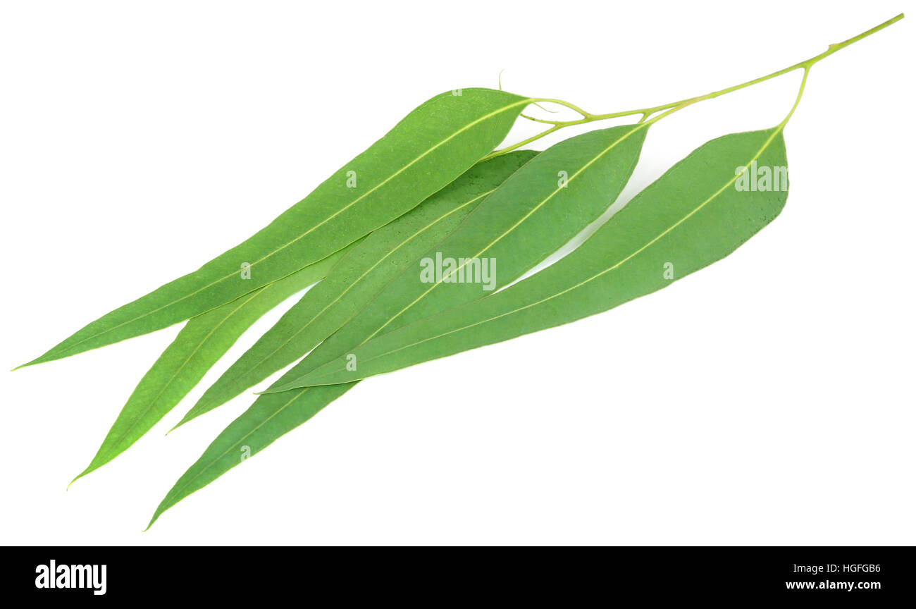 Eucalyptus leaves of medicinal value over white background - Stock Image