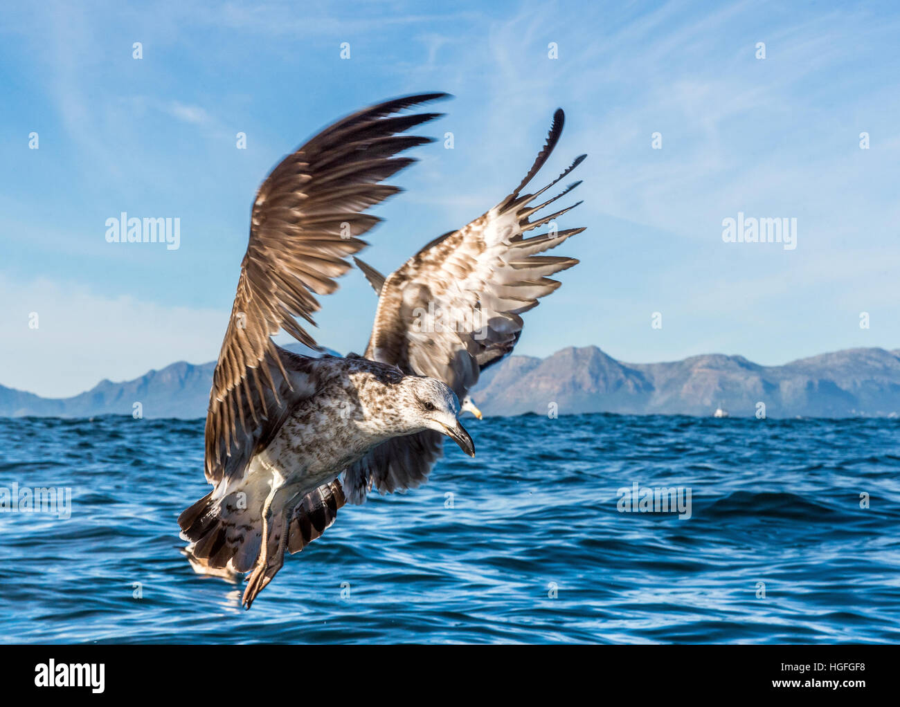 Flying Juvenile Kelp gull (Larus dominicanus), also known as the Dominican gull and Black Backed Kelp Gull. Natural Stock Photo