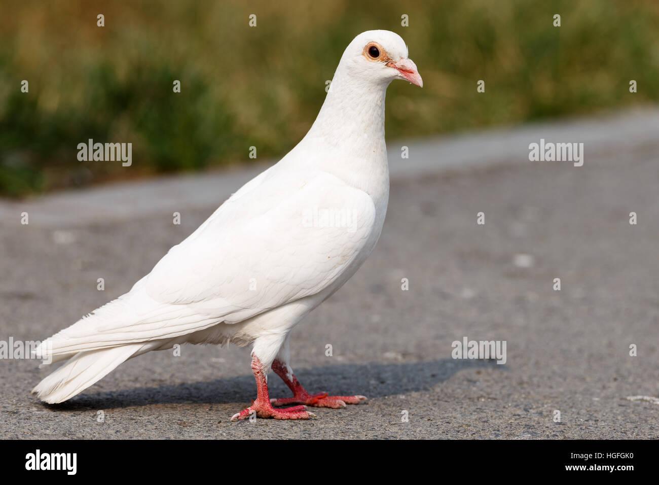 pigeon close up white pigeon city pigeons Stock Photo: 130649428 - Alamy
