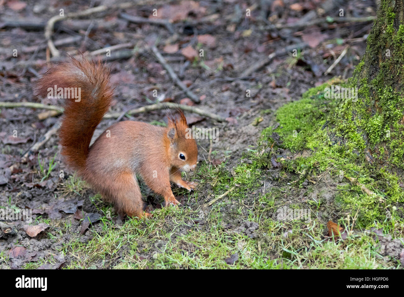 Red Squirrel ( Sciurus vulgaris ) on The Ground Hiding Food - Stock Image