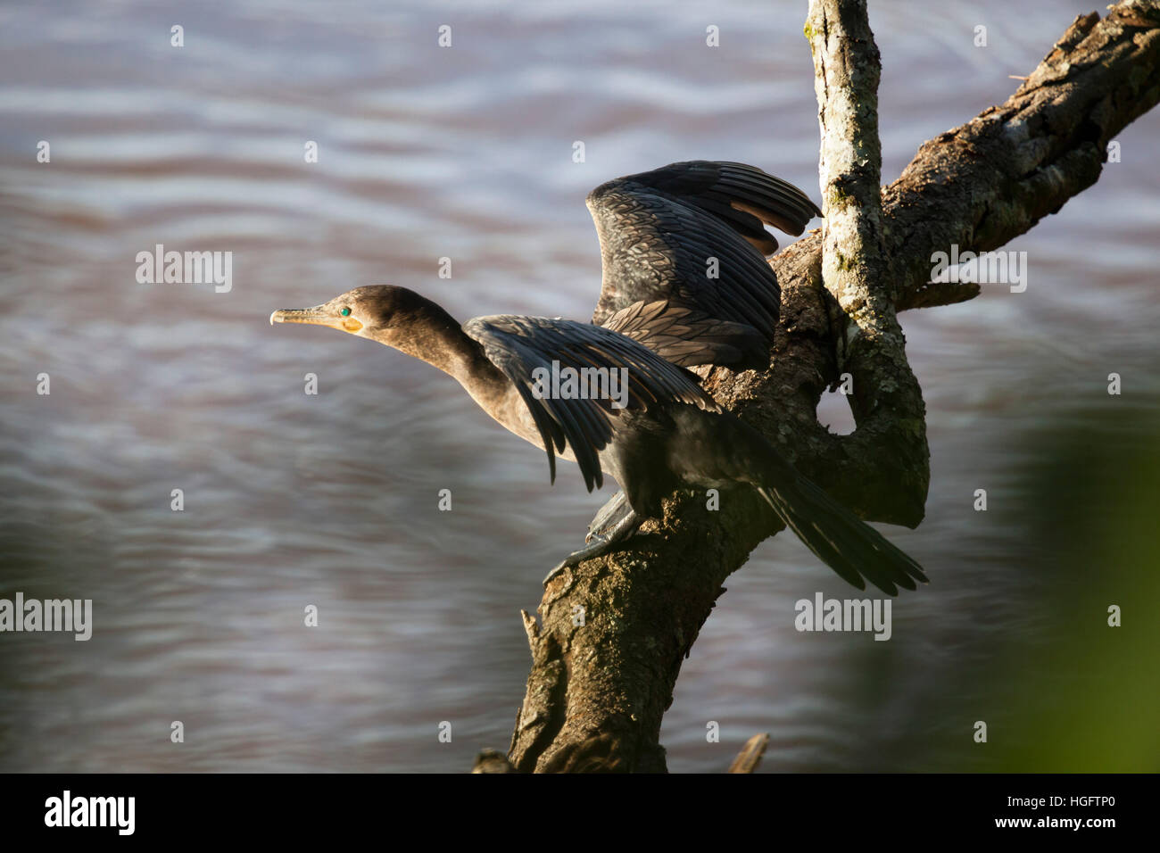 Neotropic cormorant, Iguazu National Park, Misiones Province, The Northeast, Argentina, South America - Stock Image