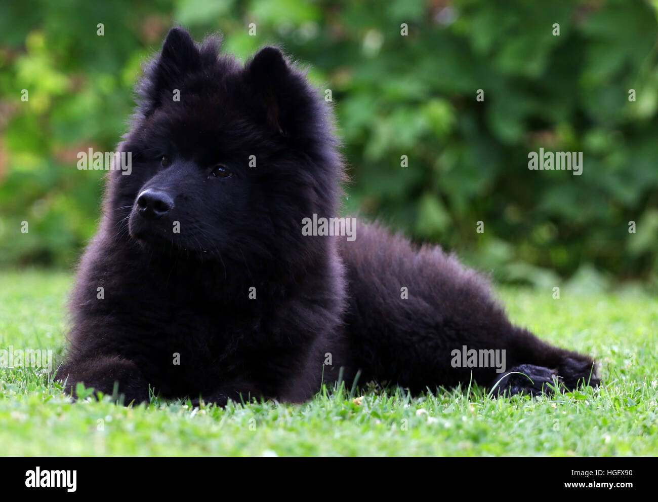 Black Eurasier Puppy Dog Lying On The Grass Stock Photo 130656988