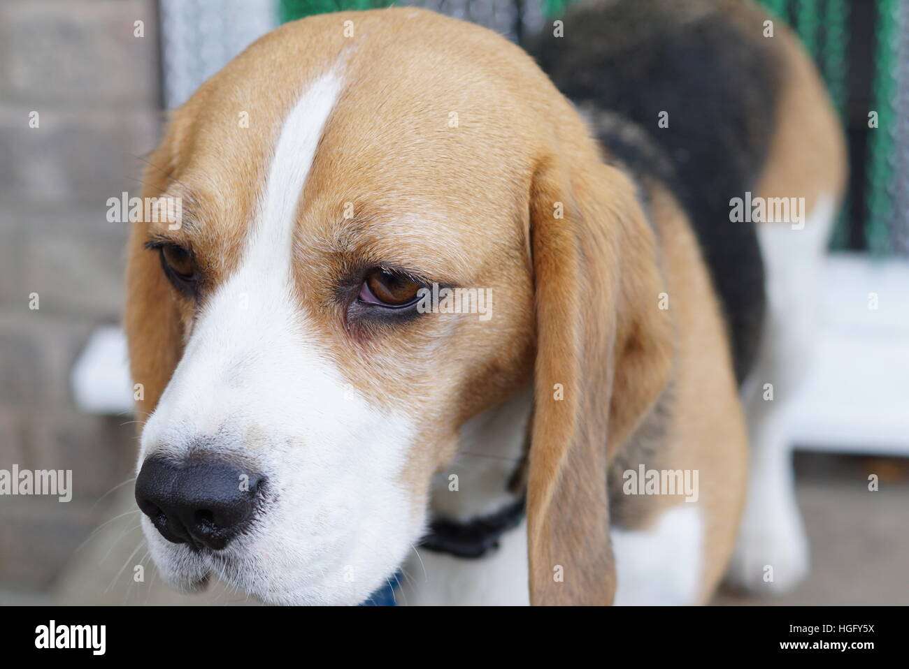 Beautiful beagle - Stock Image