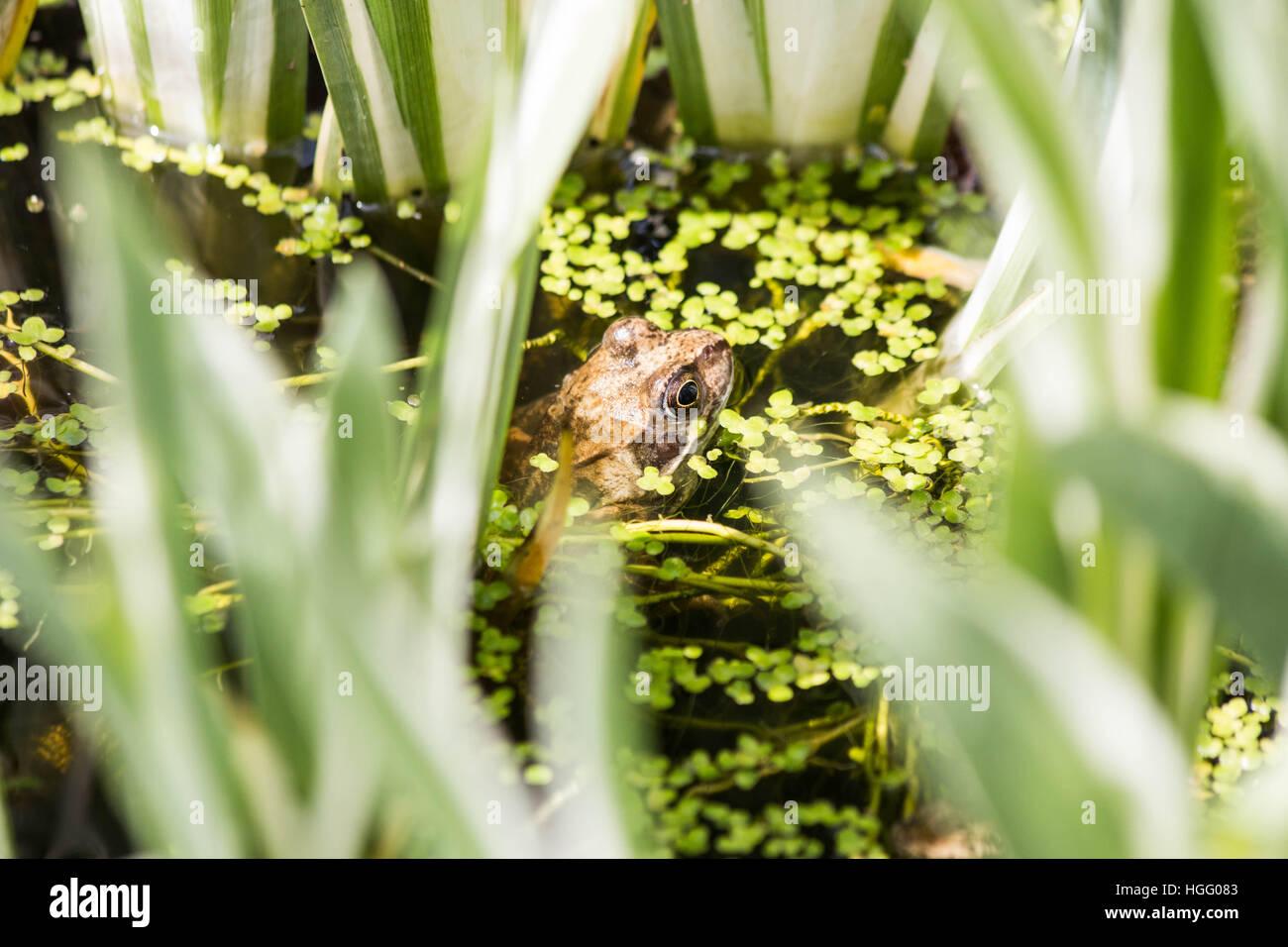 Common Frog in duckweed - Stock Image