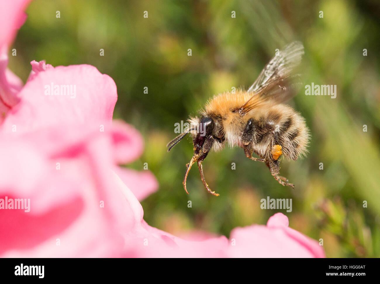 Bee looking collecting pollen Stock Photo