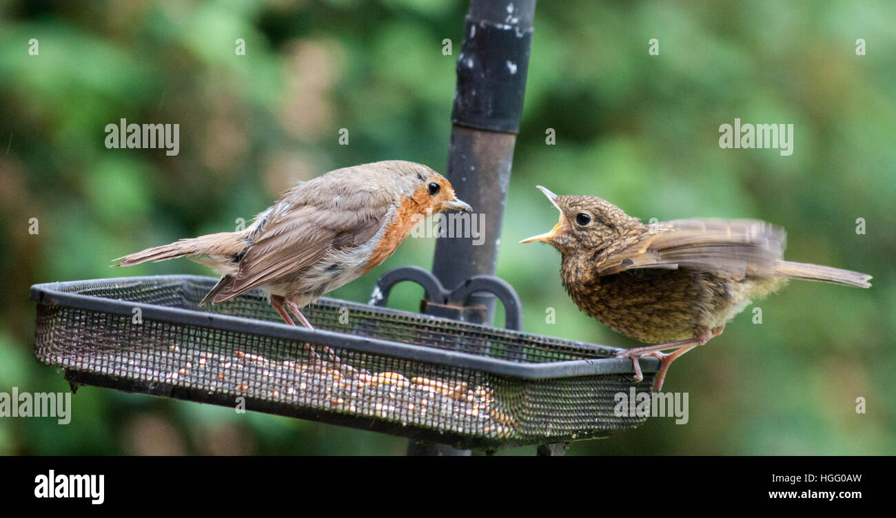 food-of-and-adult-robin