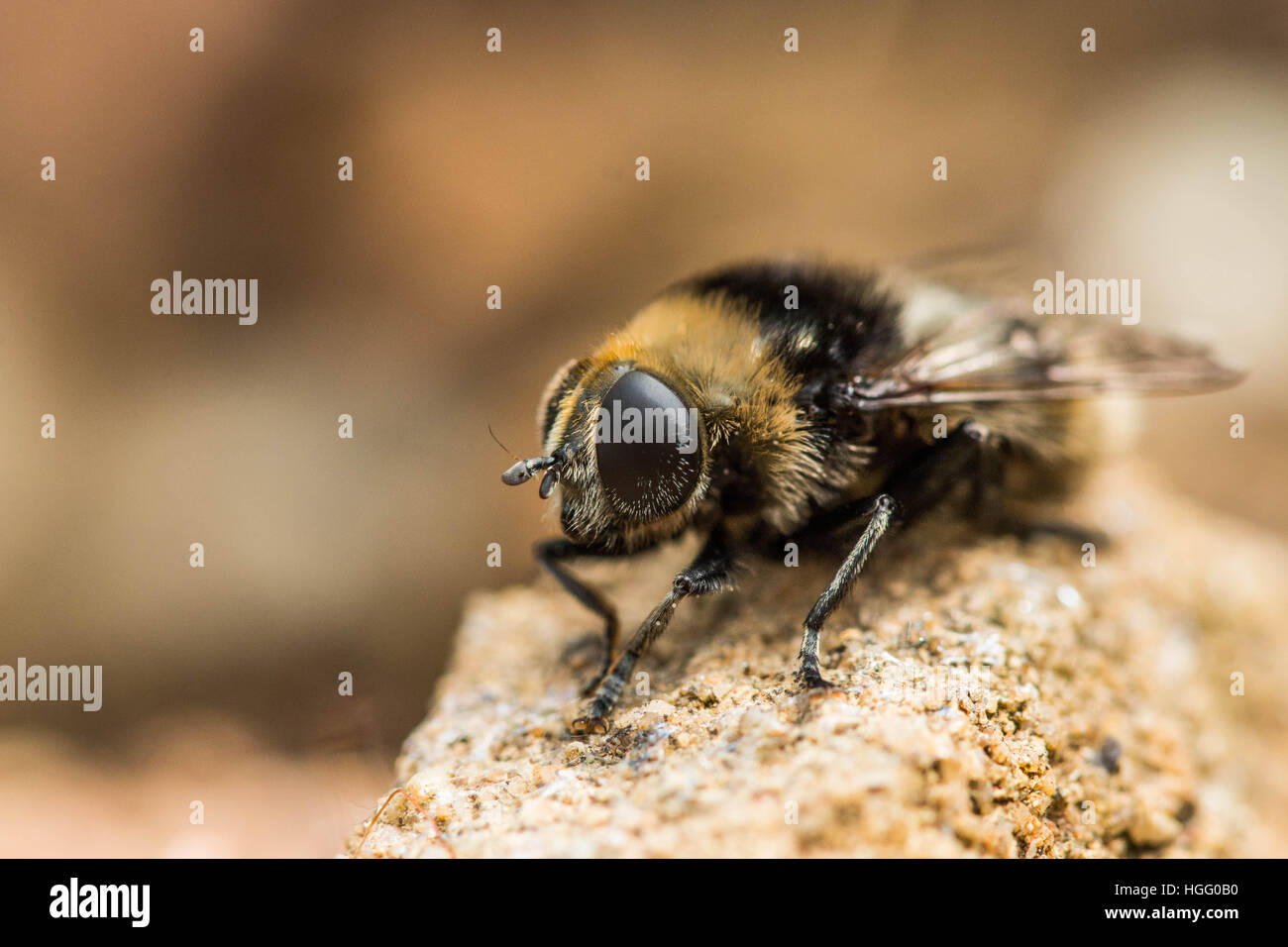 Bee resting Stock Photo