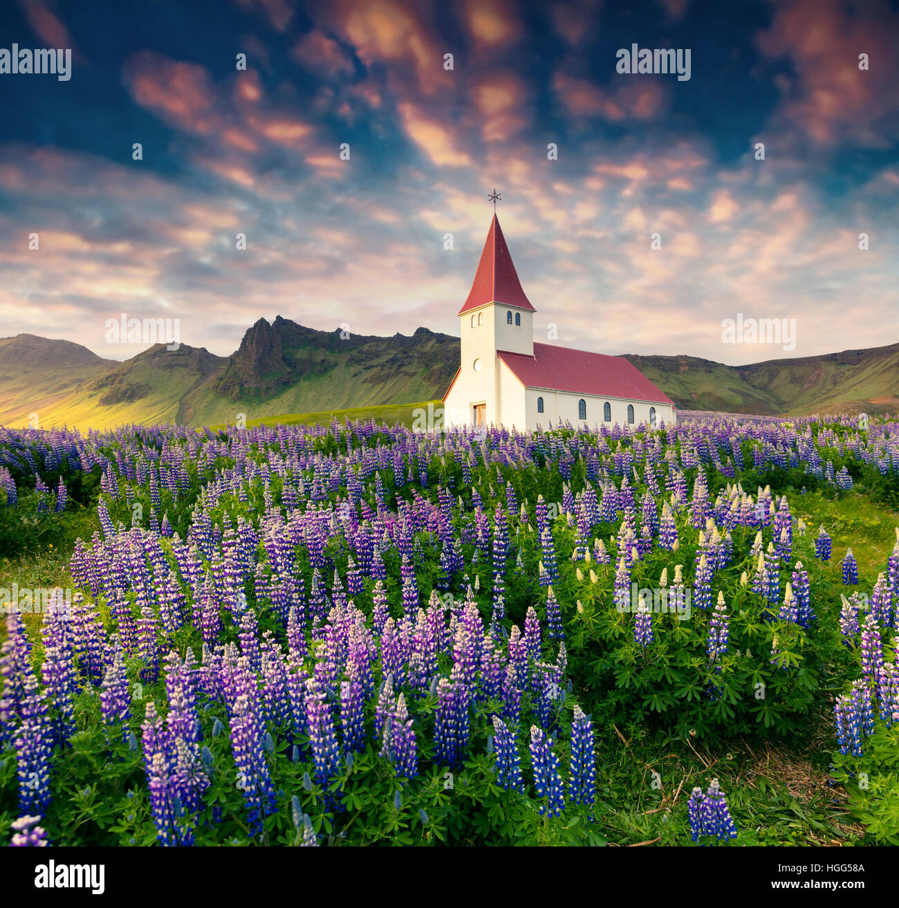 Small church surrounded blooming lupine flowers in the Vik village. Colorful summer sunrise in the Iceland, Europe. - Stock Image