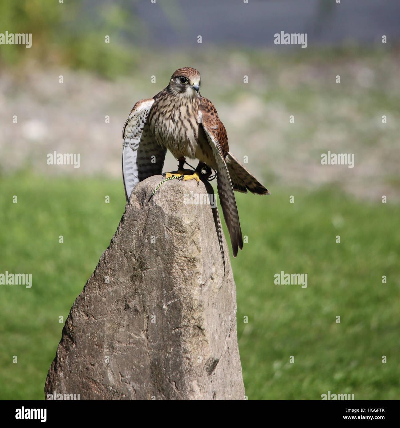 Common Kestrel, also known as European Kestrel, Eurasian Kestrel, Old World Kestrel or simply Kestrel perched on - Stock Image