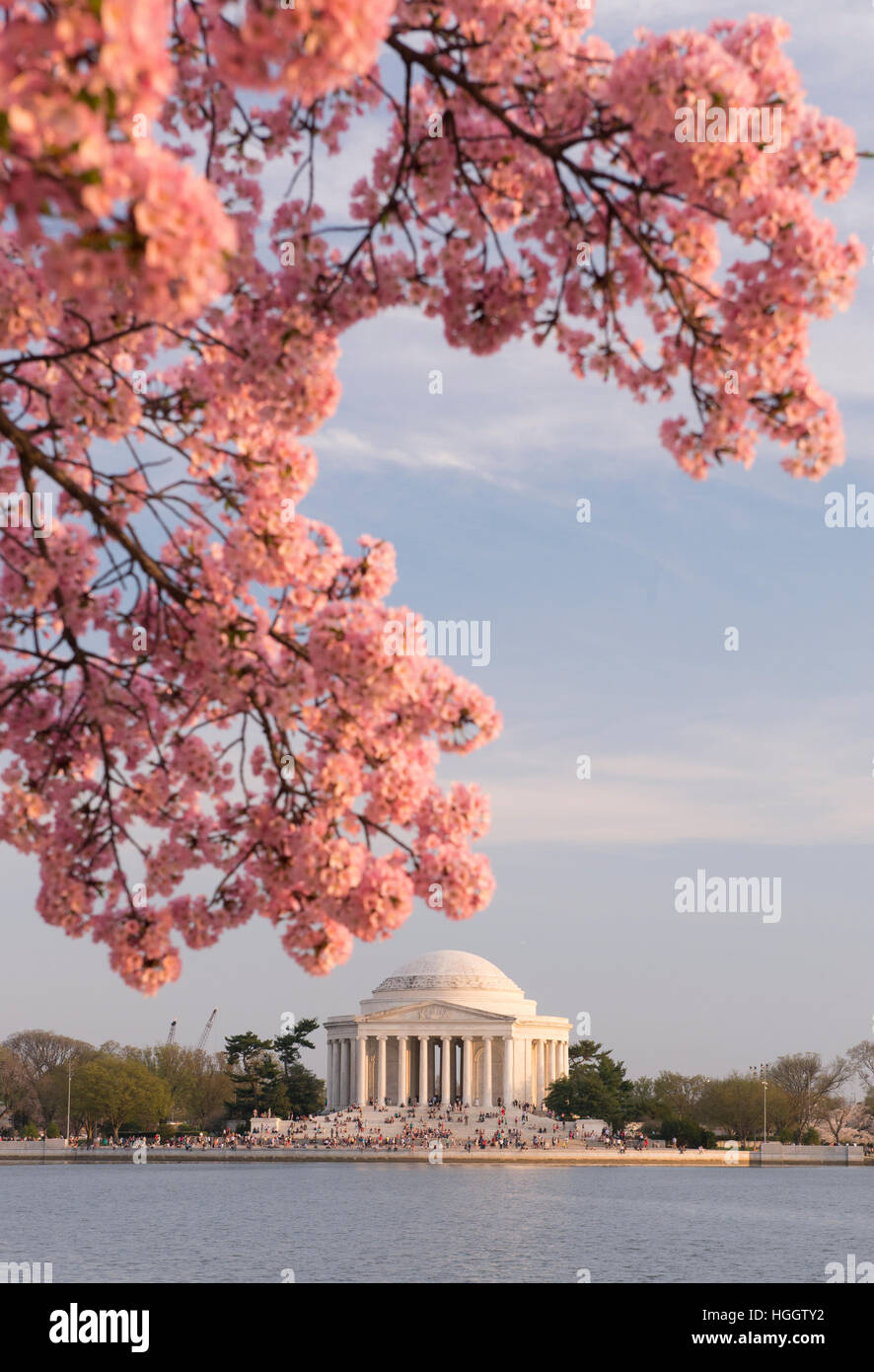 The Thomas Jefferson Memorial is framed by pink cherry blossoms at sunset. - Stock Image
